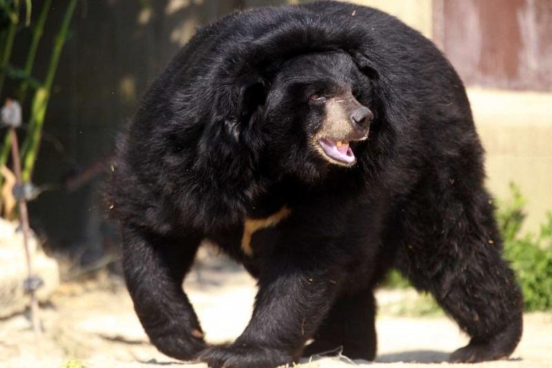 Asian Black Bear Moon Bear Facts Habitat Diet Cub
