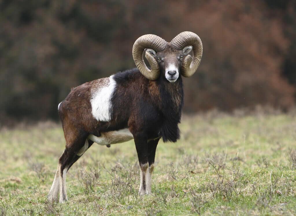 Mouflon Facts Habitat Diet Pictures