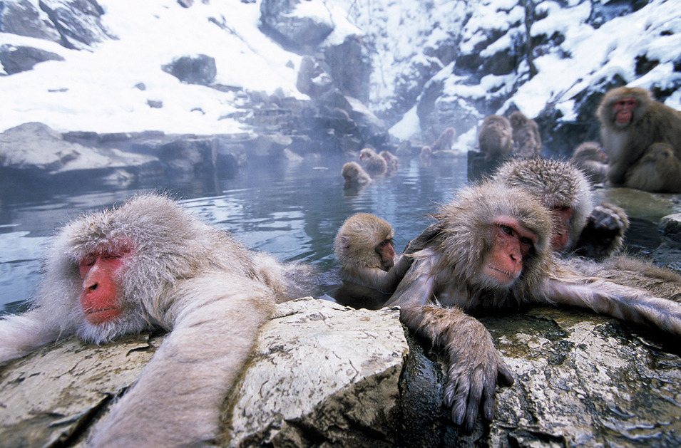 Snow Monkey Facts, Habitat, Diet, Baby, Pictures - photo#2