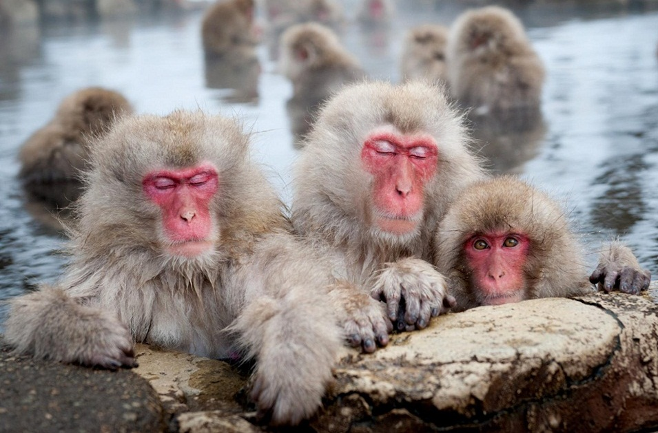 Snow Monkey Facts, Habitat, Diet, Baby, Pictures - photo#5