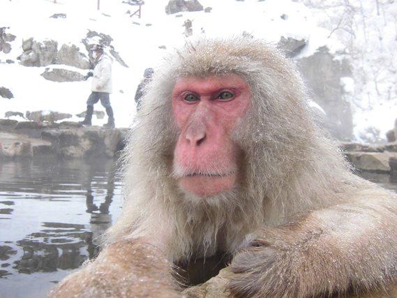 Snow Monkey Facts Habitat Diet Baby Pictures