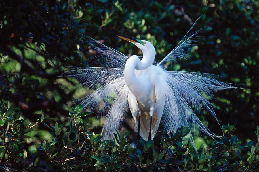 Great Egrets, Great White Egrets, White Heron or Common Egret   …