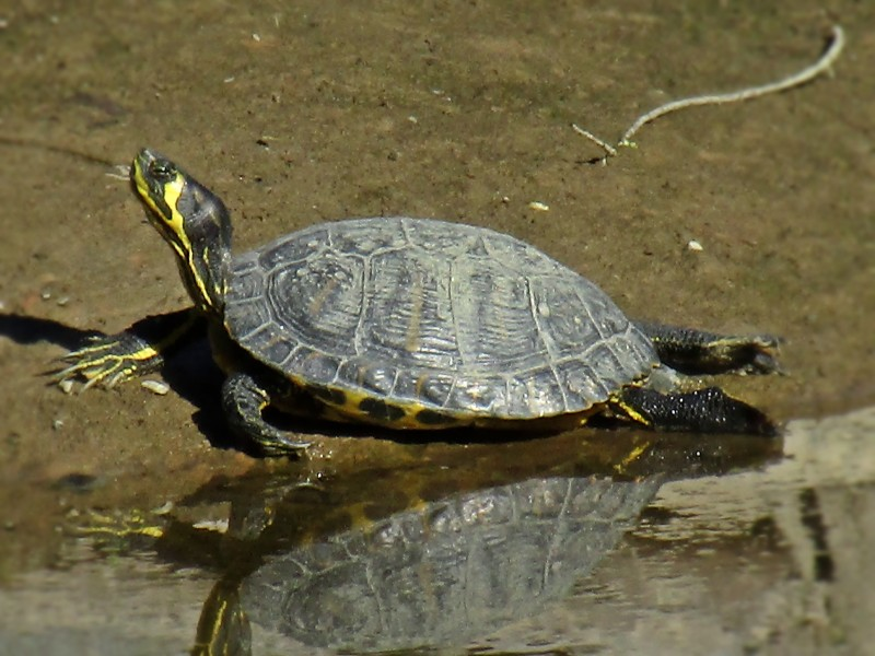 Yellow Bellied Slider Facts Habitat Diet Pictures