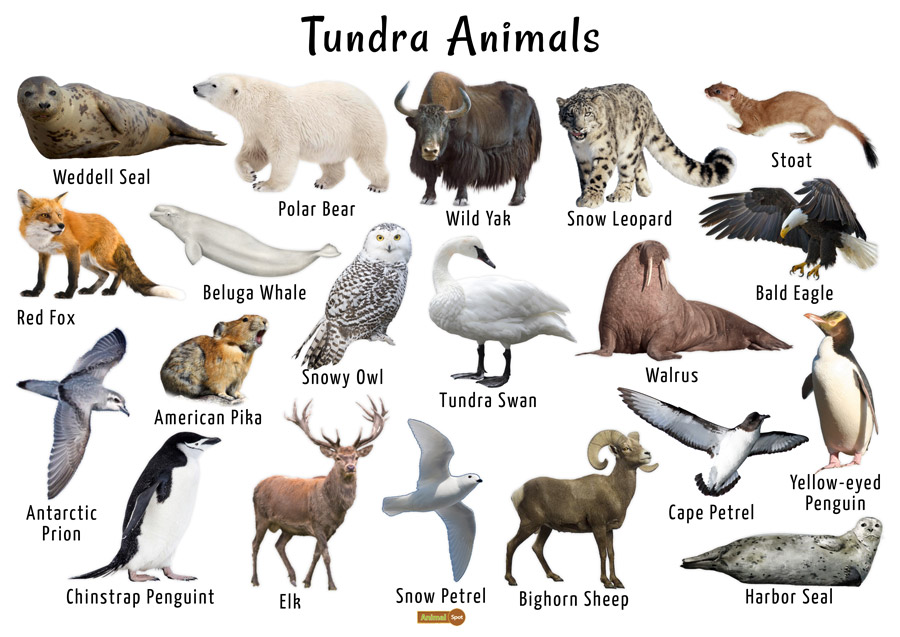 Tundra Animals List, Facts, Adaptations, Pictures