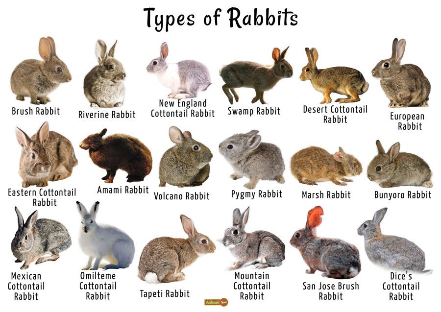 Rabbit Facts Description Food Habits Pet Care And Pictures
