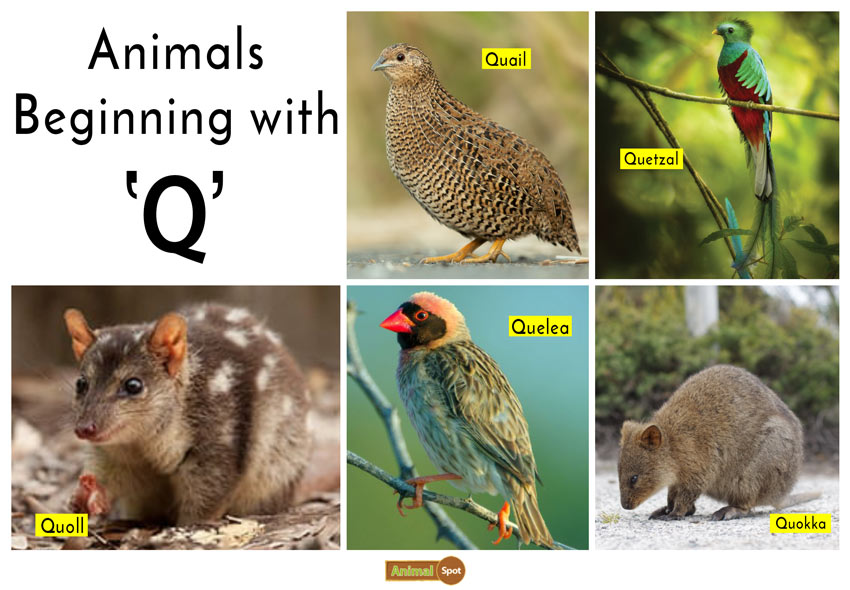 Animals that Start with the Letter Q