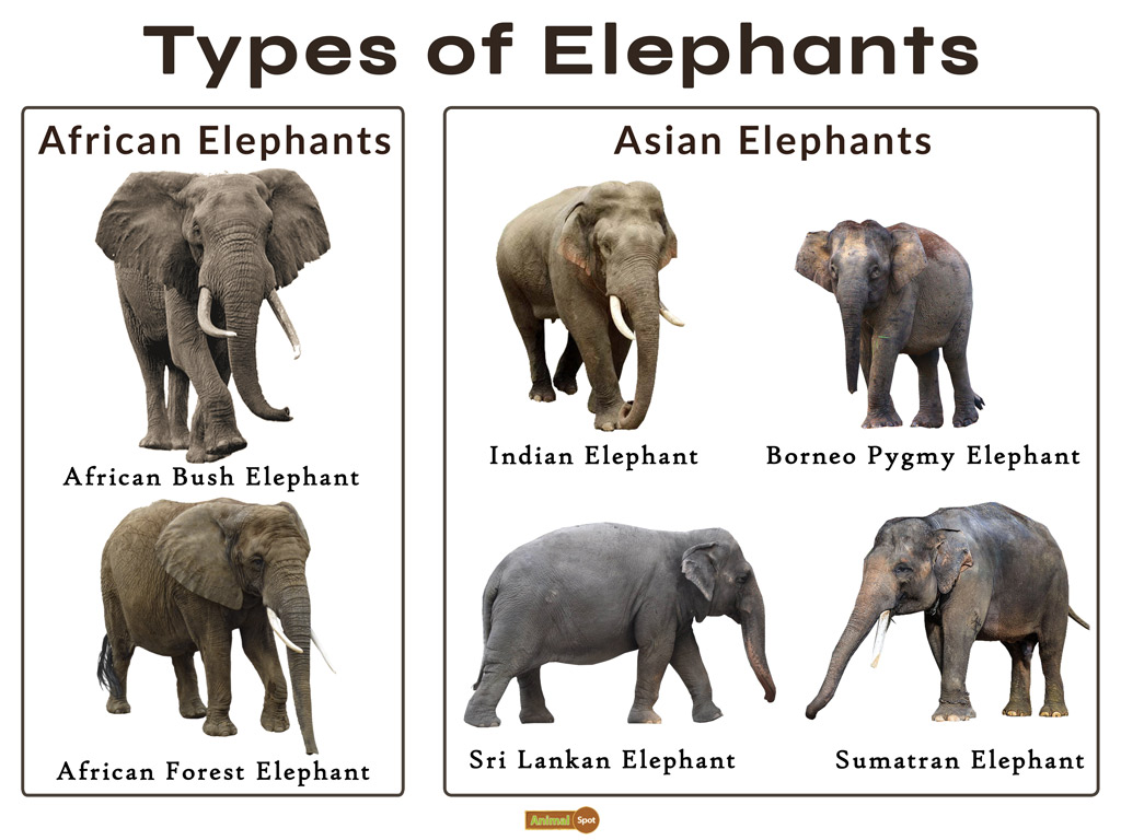Elephant Facts, Types, Classification, Habitat, Diet, Adaptations