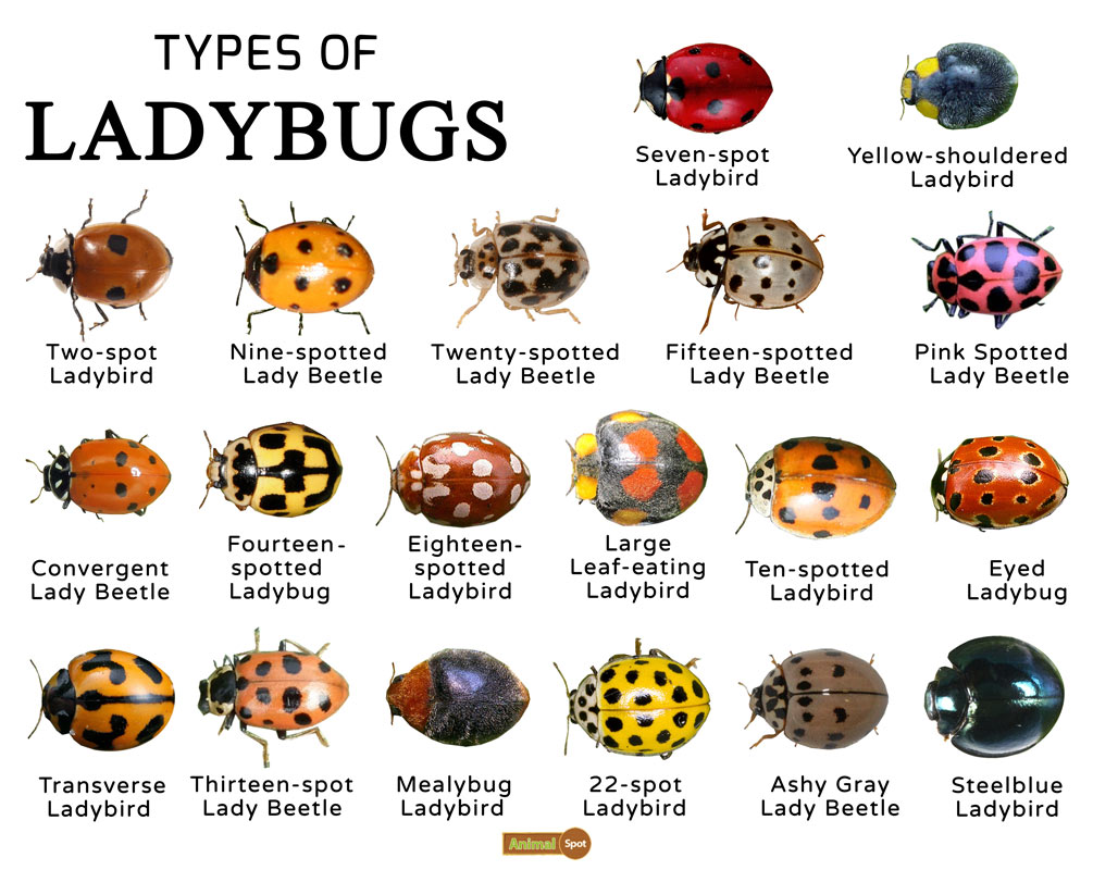 Ladybugs Facts Types Lifespan Classification Habitat Pictures